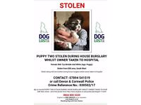 Stolen shitzu puppies from their mother at there home
