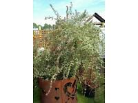 Large Fuchsia Plant
