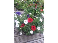 Large summer flowering hanging baskets