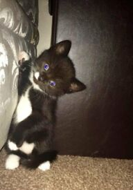 NOW only ONE Kitten left 7 weeks old - everyones favourite - Loving Parents is a MUST ; -)