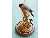 Taxidermy Male Bullfinch with covered dome.