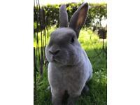 Beautiful purebred minirex rabbits