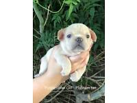 2 x KC Platinum tan Girl French Bulldog Puppies (Quad carriers)- Platiniums, lilac, cream