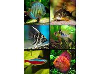 x13 Tropical Fish Pack | Angelfish, Cardinal Tetras, Discus, German Ram, Sterbai Cory| South America