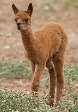 Dozen of alpacas to choose from. Young, old, all colours Hindmarsh Island Alexandrina Area Preview