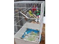 2 budgies for sale with cage £40