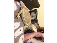 Adult bearded dragon with 4ft Viv