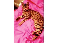 15 months old female Bengal