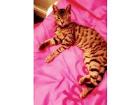 15 months old Bengal female