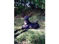 Bedlington greyhound for sale