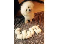 Bichon frise puppys UPDATE