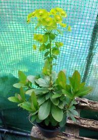 Euphorbia plants - Mrs Robb's Bonnet ( Euphorbiaamygdaloides var. robbiae