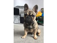 French bulldog 6 months old lovely family puppy