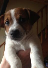 8 purebred jack Russell puppies for sale READY TO GO