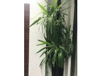 Large Yucca Plant RRP £120, SELLING FOR £60