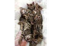 6 Pure pedigree Bengal kittens