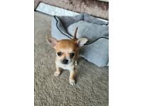 Chihuahua Puppy Male Teacup 14 weeks old