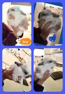 Two mini Lop bunnies for sale Sydenham Brimbank Area Preview