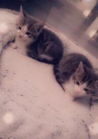 Selling kittens £50 each