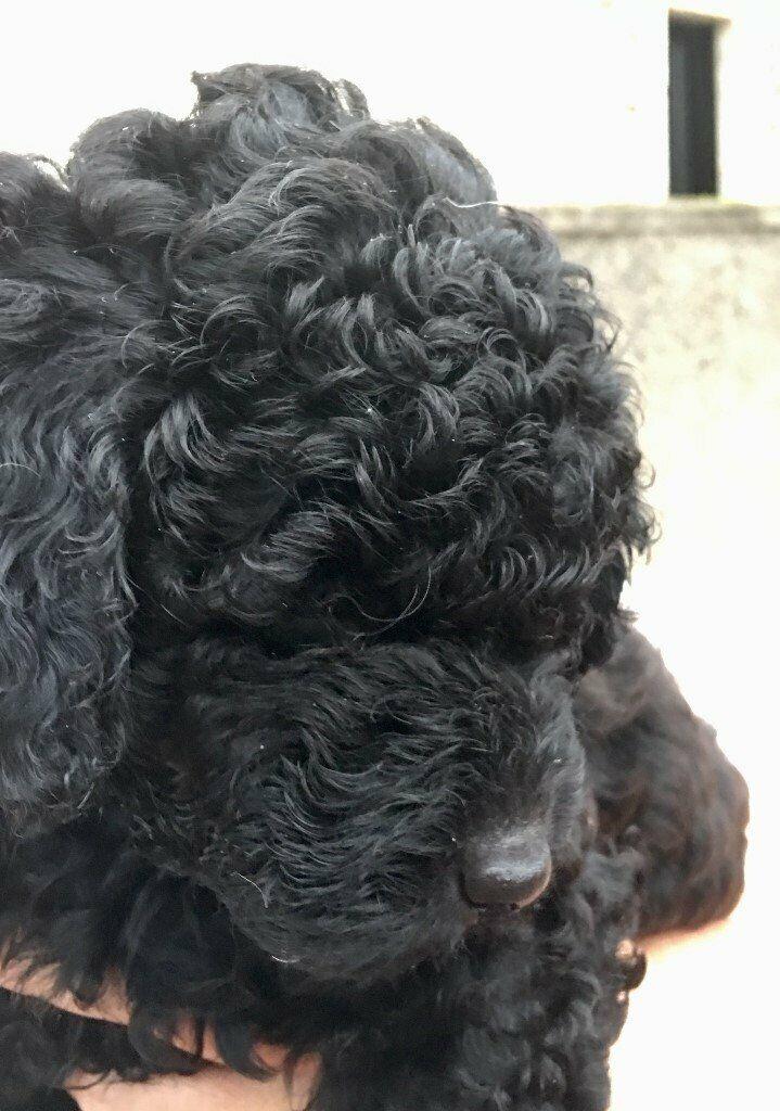 Miniature black Labradoodle puppies   in Bucksburn, Aberdeen   Gumtree