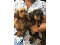 Mini kc wire haired dachshund puppies