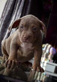 XL American bully pups Merle
