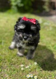 Stunning pom Maltese pups ONLY 2 LEFT