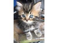 5 Persian Chinchilla X kittens for sale