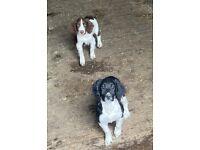 2 Male Springer Spaniel Pups