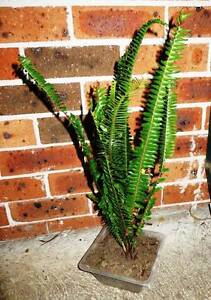 Long Fern Plants Eastwood Ryde Area Preview