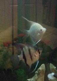 3 Angel fish