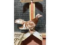 Oriental roller pigeons