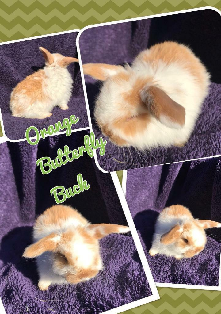 Mini lop babies to reserve