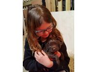 Gorgeous chocolate brown female springer spaniel for sale
