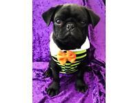Beautiful black pug puppy