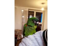 Hanns Macaw for sale
