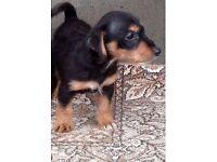 jack Russell cross Dachshund puppy