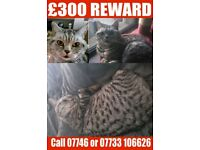 £300 Reward for finding our silver and black cat