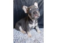 Lilac & Tan, Platinum French Bulldog Puppies 1 Boy 1 Girl