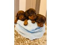 Miniature Dachshund puppies for sale.