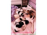 3/4 JACK RUSSELL 1/4 CHIHUAHUA PUPPIES