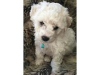 Bichon Frisée boy puppy