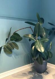 🪴 Large Rubber tree house plant (Ficus Elastica)