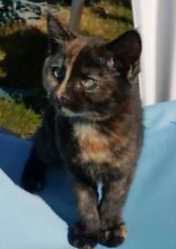 Female Tortoiseshell Kitten