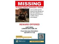 Missing young Bengal cat - REWARD offered