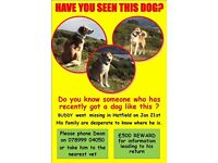 Buddy collie cross dog missing from Hatfield