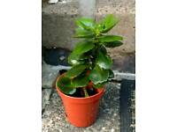Baby kalanchoe plant