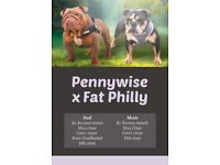 Top pedigree kc health tested English bulldogs