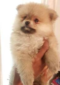 Pomeranians - Miniture & flat nosed - 6 Beautiful pure-bred Poms for sale - ONLY 2 LEFT