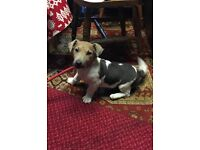 Beautiful Male Jack Russell For Sale